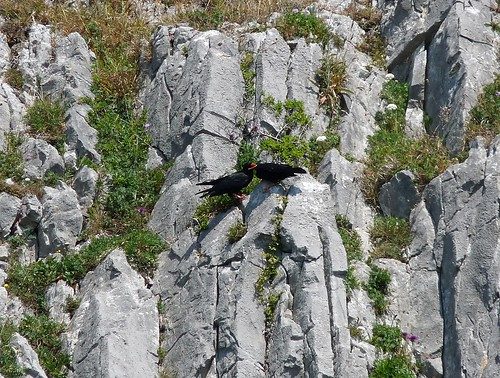 22081 - Juvenile Chough being fed, Gower