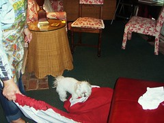 little white dog phoebe on a red pillow on the floor with chairs and table next to her