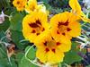 Sunset Flower 2 (Chris Dahl1) Tags: urbanpark sunsetflower