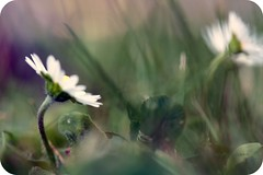 Deep in the grass (LETHO 2706) Tags: plants flower overgrown grass schweiz moss pond break blossom swiss pflanzen blumen daisy gras forgetmenot teich marigold picnik moos swizerland gänseblümchen blüten vergissmeinnicht forceofnature bewachsen canonefs60mm durchbrechen überwachsen tamron18200mm dotterblume gerlafingen canon450d bysäne photographyartbysänech kraftdernatur stärkedernatur