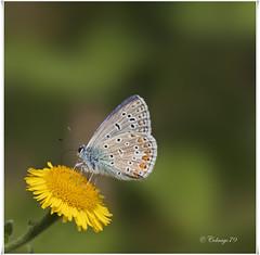 Icarusblauwtje (C-79) Tags: macro nature natuur vlinders vlinder commonblue lycaenidae icarusblauwtje hauhechelbluling licare argusbleu blauwtjes largusicare