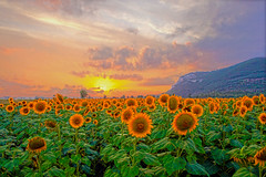 SUNFLOWER'S SUNSET