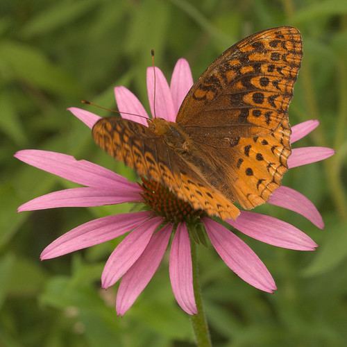 Babler State Park, in Wildwood, Missouri, USA - moth on coneflower