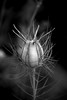 Tentakel (Rubina V.) Tags: plant flower nature blackwhite dof authenticphotography