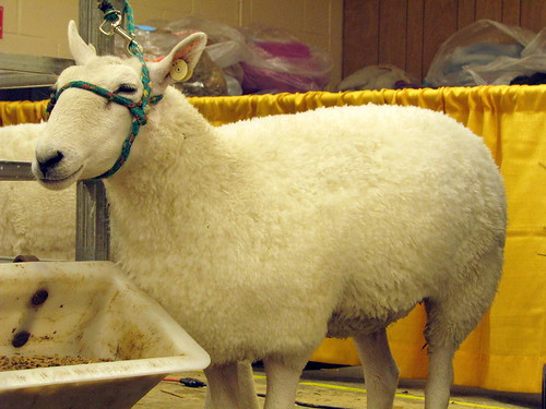 09 TN State Fair #136: Sheep