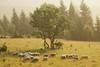 I will fear no evil (kosova cajun) Tags: landscape highlands sheep pasture kosova kosovo dele kosovë rugova peisazh bogë rugovë bjeshkëtenemuna accursedmountains bjeshkë albanianalps alpetshqiptare psalm23series