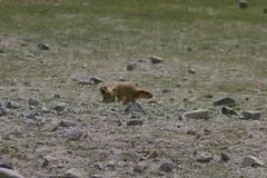 IMG_7106 (y.awanohara) Tags: india wildlife leh himalayas ladakh marmots pangong jammuandkashmir pangongtso yawanohara july2010