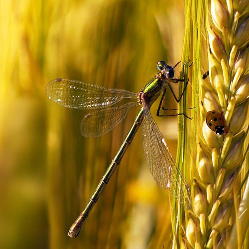 フリー写真素材|動物|昆虫|トンボ|てんとう虫・テントウムシ|