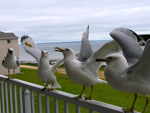 Seagulls from around the US - Mackinaw City, Michigan