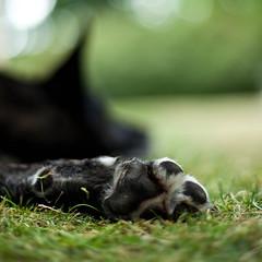 Paw In Focus (mortenprom) Tags: dog green grass denmark paw pov explore dnemark danmark danio 2010 dania danemark danimarca canoneos5dmarkii mortenprom twphch twphch064