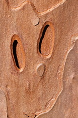 Tree bark abstract (kasia-aus) Tags: plant abstract tree nature pine australia federationsquare bark canberra act 2010