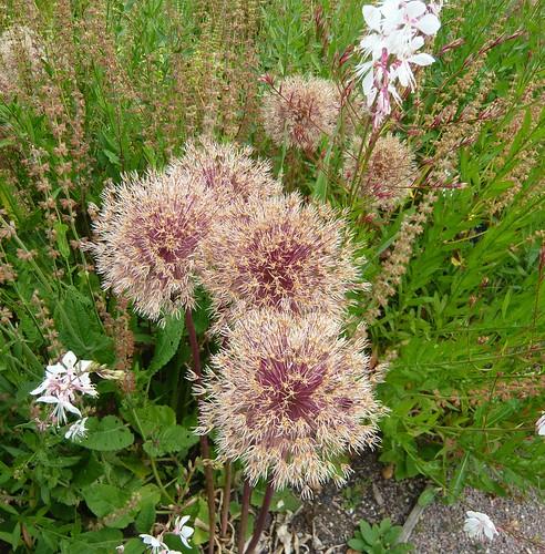 Allium seed heads