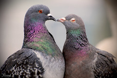 P for Pigeons (Rami ) Tags: two colors up for eyes nikon kiss kissing close pigeons feathers p 70300mm d80