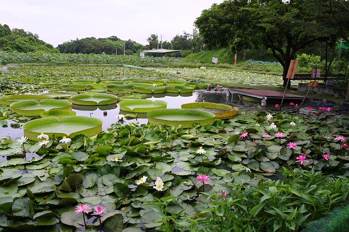 台南白河蓮花公園(水連公園)0025