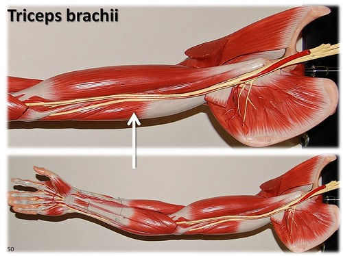 Triceps brachii, large arm model - Muscles of the Upper Extremity ...
