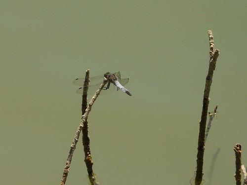 Grey Dragonfly