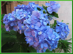 Blue Hydrangea macrophylla 'Endless Summer'