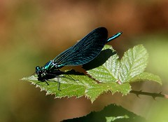 Beautiful Demoiselle (Calopteryx virgo) (Rosa Gamboias/ on vacation) Tags: blue naturaleza insectos nature azul wings wildlife natureza insects bugs critters iridescent damselfly damselflies asas insetos zygoptera vidaselvagem beautifuldemoiselle calopteryxvirgo iridiscente mywinners odonatas donzelinhas rosagambias