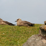 sea birds thumbnail