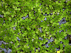 Duckweed (Gem Images) Tags: plant water us orlando florida kissimmee duckweed vacationvillage
