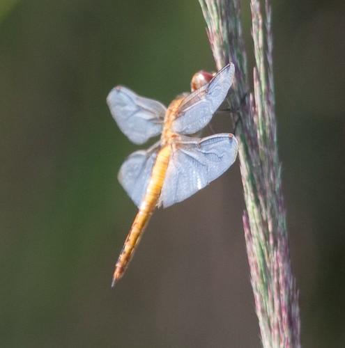 Wandering Glider