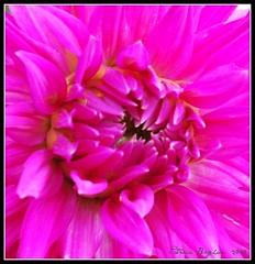 Blooming Profusely (Aqua0646 (Pat)) Tags: summer flower macro magenta bloom