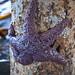 Ochre Sea Star - Edmonds, WA