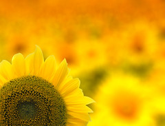 The sunflowers (C-Smooth) Tags: flowers light summer sun detail yellow garden petals focus poetry colours blossom s