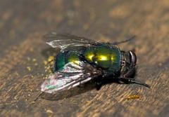 A Robber Fly's Victim (aeschylus18917) Tags: macro nature japan insect fly nikon g micro  prey nikkor predator f28 vr pxt diptera calliphoridae 105mm predation insecta 105mmf28 greenbottlefly 105mmf28gvrmicro calyptratae oestroidea brachycera d700 nikkor105mmf28gvrmicro muscomorpha  danielruyle aeschylus18917 danruyle druyle