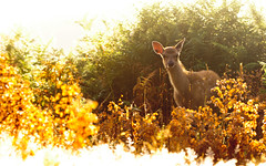 little explorer V (andrew evans.) Tags: morning summer england sun white mist nature misty fairytale sunrise golden countryside kent nikon bokeh wildlife warmth deer ethereal wonderland storybook magical 70200 f28 enchanted d3