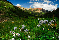 Avery Peak (Robin-Wilson) Tags: colorado crestedbutte wildflowerfestival columbines gothicarea coloradostateflower scatteredlight schofieldpass averypeak