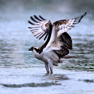 Osprey standing in Water