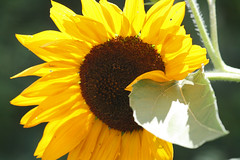 sunflower 048