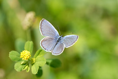 DSC_5361 (Meinrad Périsset) Tags: nature schweiz switzerland nikon suisse bleu papillon argus nikond200 macrophotographie swizzera nikkor105mmf28gvrmicro vuarmarens