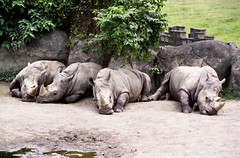 Rhino - Taipei Zoo - 2000 (macabrephotographer) Tags: 0sec hpexif