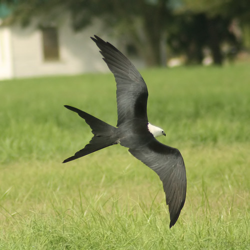 Swallow-Tailed Kite 2
