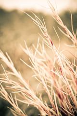 Wild Grass (TonyMaiello) Tags: red wild field grass barley wheat grain lawn meadow straw brush foliage pasture valley feed prairie hay grassland plain grange steppe sawgrass hops savanna veldt wildgrass grassyfield