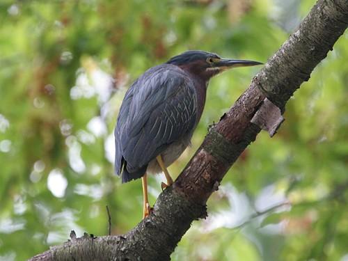 Green Heron; Butorides virescens
