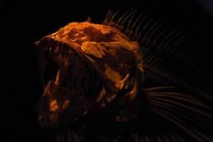 Fossilized (JIM Mourgos) Tags: california fish zoo mba montereybayaquarium environment montereycounty exhibits mourgospix