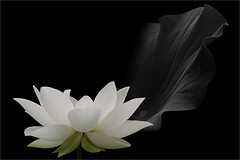 White lotus flower and the leaf in black and white on black background / black & white / black / white / - IMGP7706-800-L (Bahman Farzad) Tags: bw white black flower macro blackwhite lotus lotusflower lotusflowers lotuspetal lotuspetals lotusflowerpetals lotusflowerpetal