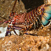 Banded Spiny Lobster - Photo (c) ken tam, some rights reserved (CC BY-NC-SA)