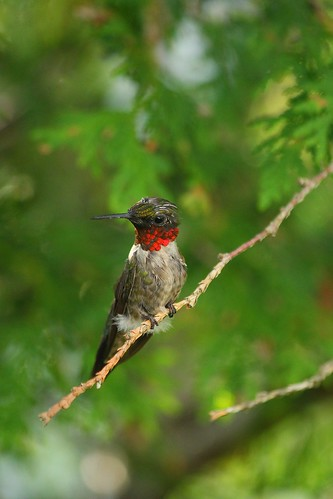 Ruby-Throat Humming Bird male