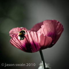 Happy Lensbaby Belated Bumble-bee Bokeh Wednesday (s0ulsurfing) Tags: lighting pink flowers light summer blur flower macro art nature beautiful beauty june closeup backlight lensbaby dark square petals wings flora focus dof darkness natural bokeh girly feminine space bees insects blurred fresh bee bumblebee lumiere poppy poppies backlit pollen elegant bumble wildflower opium lensbabies squared backlighting 2010 macrography pollination papaversomniferum pollinating lensbaby20 hbw s0ulsurfing supereco anthophila bokehwhores