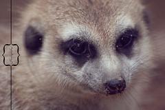 Lovely suricata. (By Aniek Photography) Tags: macro canon zoo bokeh 300mm suricata canon300mm ouwehandszoo dgawc