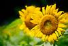 homage to Vincent van Gogh (moaan) Tags: life leica summer flower color 50mm flora dof midsummer bokeh dr august summicron sunflower utata flowering m3 hue 2010 f20 fujivelvia100 strongcolor rvp100 leicam3 inlife summicron50mmf20dr gettyimagesjapanq1 gettyimagesjapanq2