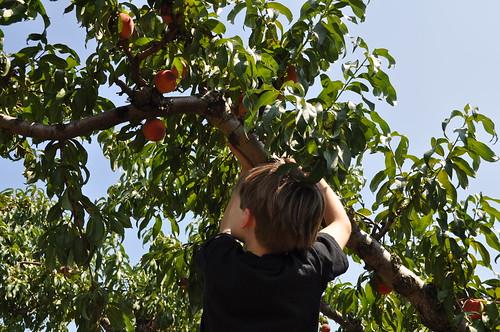 climbing peach trees