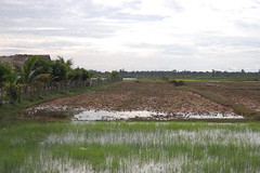 Wet Rice Fields (Laura Sanderman) Tags: asia cambodia seasia southeastasia rice siem reap fields siemreap ricefields wetricefields