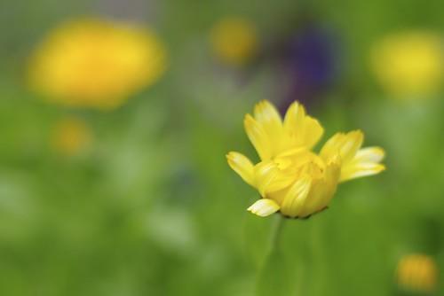 Blooming Calendula