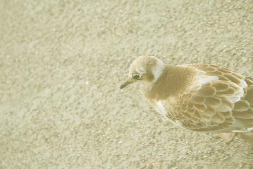 cribbled gull