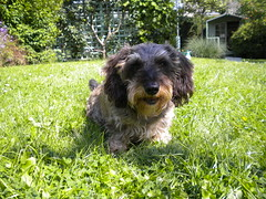 fudge (Hazel) Tags: dog sausage wirehaired dachsund minature doxie